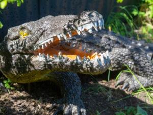 Krokodil mit geöffnetem Maul auf einem Bogenparcours