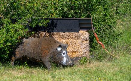 Großes Wildschwein mit Bogen auf einem Bogenparcours